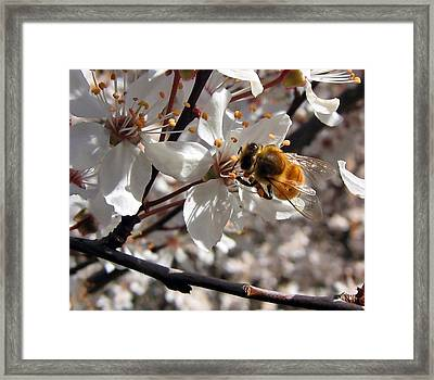Bumble Bee On A Cherry Blossom Framed Print
