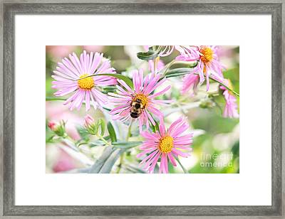 Bumble Bee On Asters Framed Print by Lena Auxier