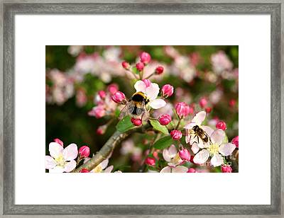 Bumble Blossom Framed Print