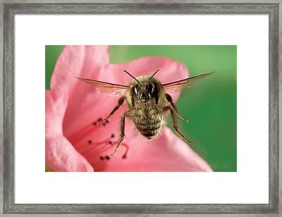 Bumblebee Bombus Huntii Flying Framed Print