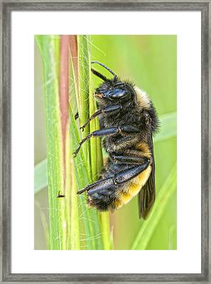 Bumblebee Framed Print by Bonnie Barry