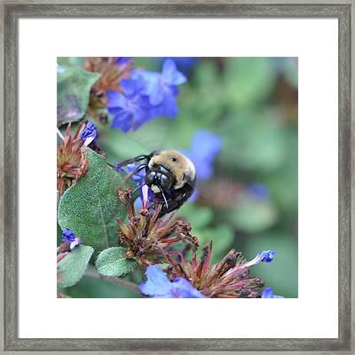Bumblebee In Plumbago Larpentae Framed Print