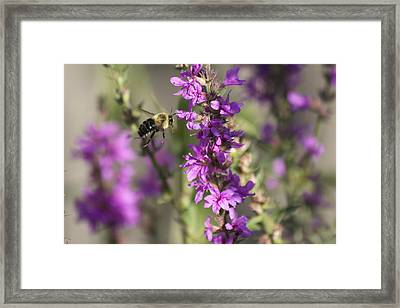 Bumblebee On The Fly Framed Print by Michel DesRoches