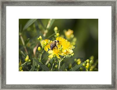 Bumblebee On Yellow Framed Print by Michel DesRoches