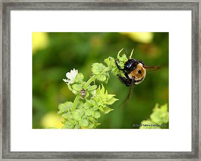 Bumbling On The Basil Framed Print by Paula Tohline Calhoun