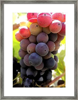 Bunch Of Ripening Grapes Framed Print by Anne Mott