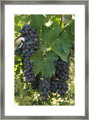 Bunches Of Sangiovese Grapes Hang Framed Print by Heather Perry