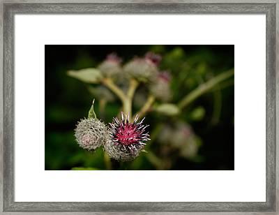 Burdock Framed Print