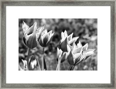 Burgundy Yellow Tulips In Black And White Framed Print by James BO  Insogna