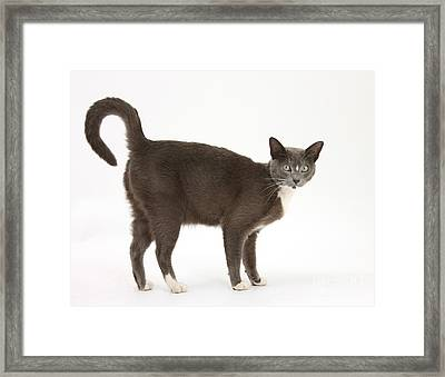 Burmese-cross Cat Framed Print by Mark Taylor