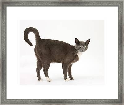 Burmese-cross Cat Framed Print by Mark Taylor