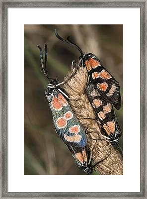 Burnet Moths Mating Framed Print by Paul Harcourt Davies