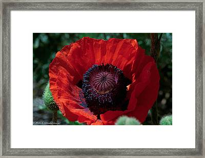 Framed Print featuring the photograph Burning Poppy by Mitch Shindelbower