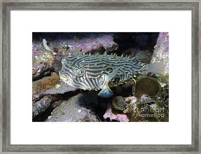 Burrfish In Atlantic Ocean Framed Print