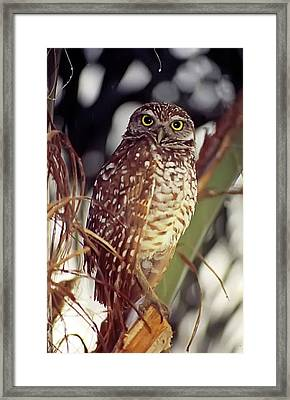 Framed Print featuring the photograph Burrowing Owl by Geraldine Alexander