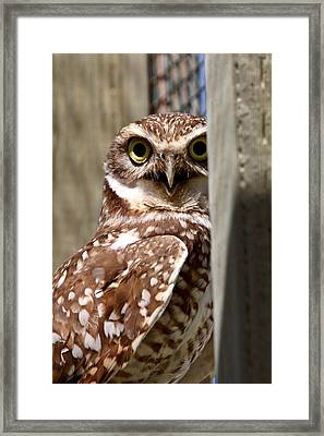 Burrowing Owl On Enclosed Window Seal Framed Print by Mark Duffy
