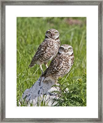 Burrowing Owl Pair Framed Print