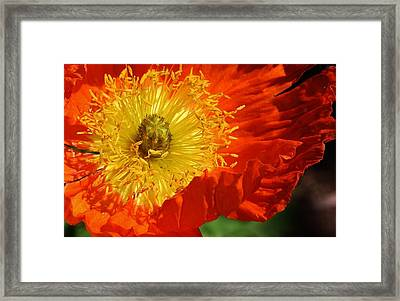 Bursting Peony Framed Print