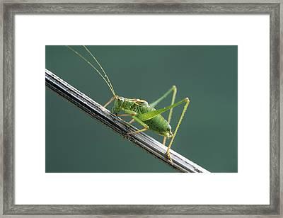Bush Cricket Framed Print by David Aubrey