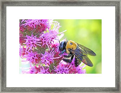 Busy As A Bee Framed Print by Becky Lodes