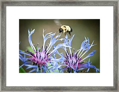 Busy Bee Framed Print by Laura Pineda