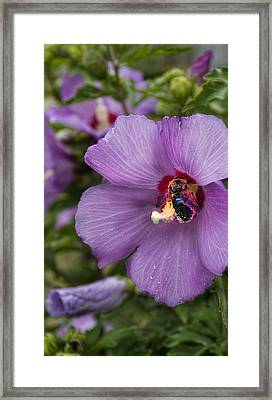 Busy Bee Framed Print by Peter Chilelli