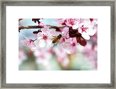 Busy Buzzing Around These Beautiful Blooms... Framed Print