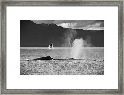 Busy Humpback Whale Pods Framed Print