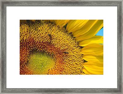 Busy Sunflower Framed Print