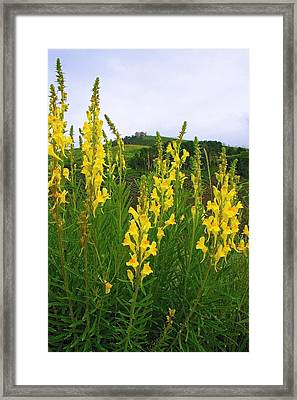 Butter-and-eggs Framed Print