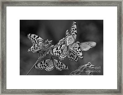 Butter Flies  Framed Print