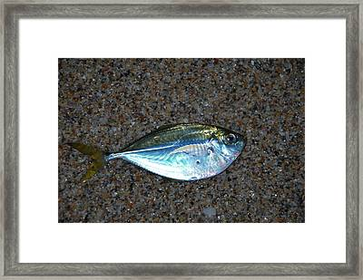 Butterfish On Beach Sand Framed Print by Ken  Collette