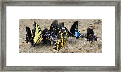 Butterfles And More Butterflies Framed Print by Marty Koch