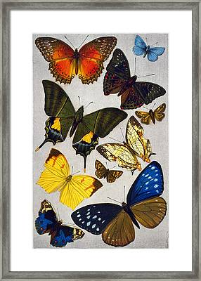 Butterflies, 19th Century Framed Print by Granger