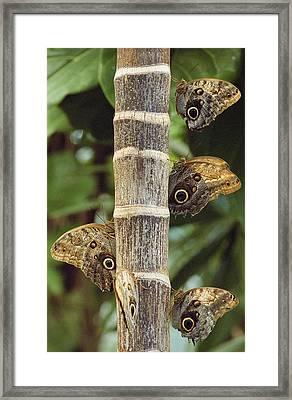 Butterflies Framed Print by Bilderbuch