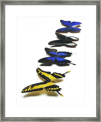 Butterflies Framed Print by Lawrence Lawry