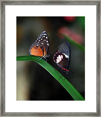 Butterflies Framed Print by Skip Willits