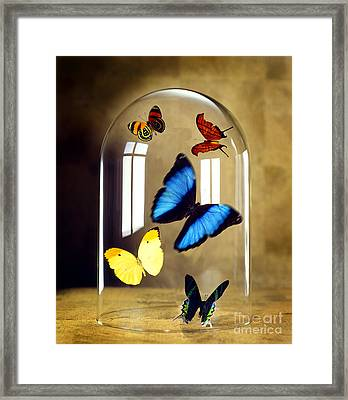 Butterflies Under Glass Dome Framed Print by Tony Cordoza