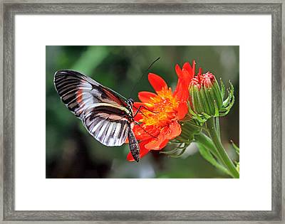 Framed Print featuring the photograph Butterfly - Orange by Larry Nieland