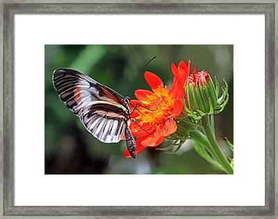 Butterfly - Orange Framed Print by Larry Nieland