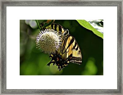 Butterfly 2 Framed Print by Joe Faherty