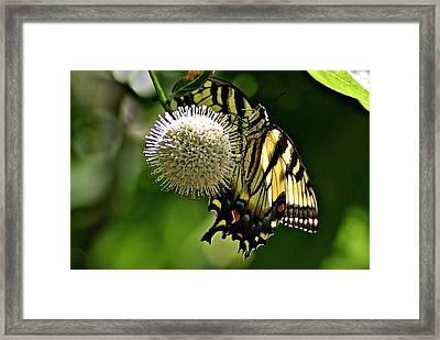 Butterfly 3 Framed Print by Joe Faherty