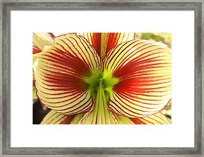 Butterfly Amaryllis Framed Print