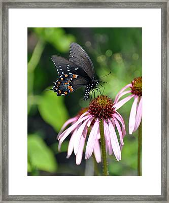 Butterfly And Coine Flower Framed Print by Marty Koch