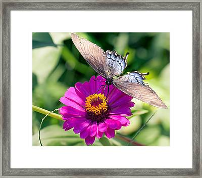Framed Print featuring the photograph Butterfly  by Anna Rumiantseva