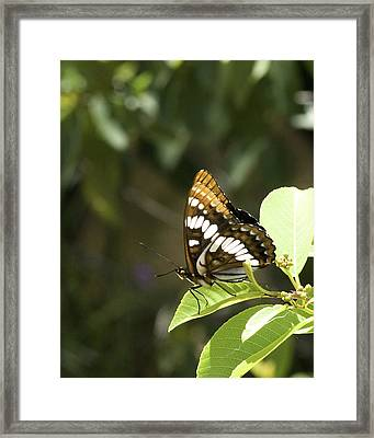 Framed Print featuring the photograph Butterfly At Rest by Betty Depee