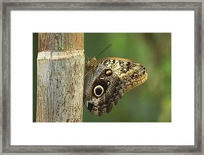 Butterfly Framed Print by Bilderbuch