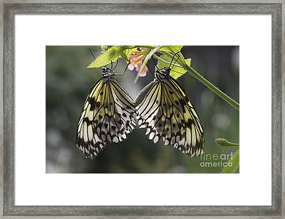 Butterfly Duo Framed Print