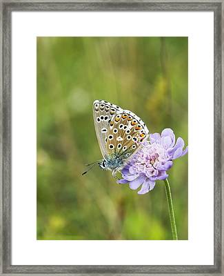 Butterfly Feeding On Small Scabious Framed Print