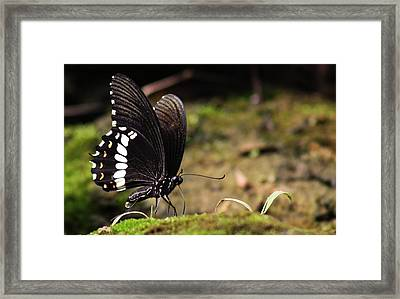 Framed Print featuring the photograph Butterfly Feeding  by Ramabhadran Thirupattur